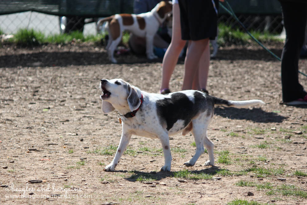 Howling Beagles at BREW's Beaglefest
