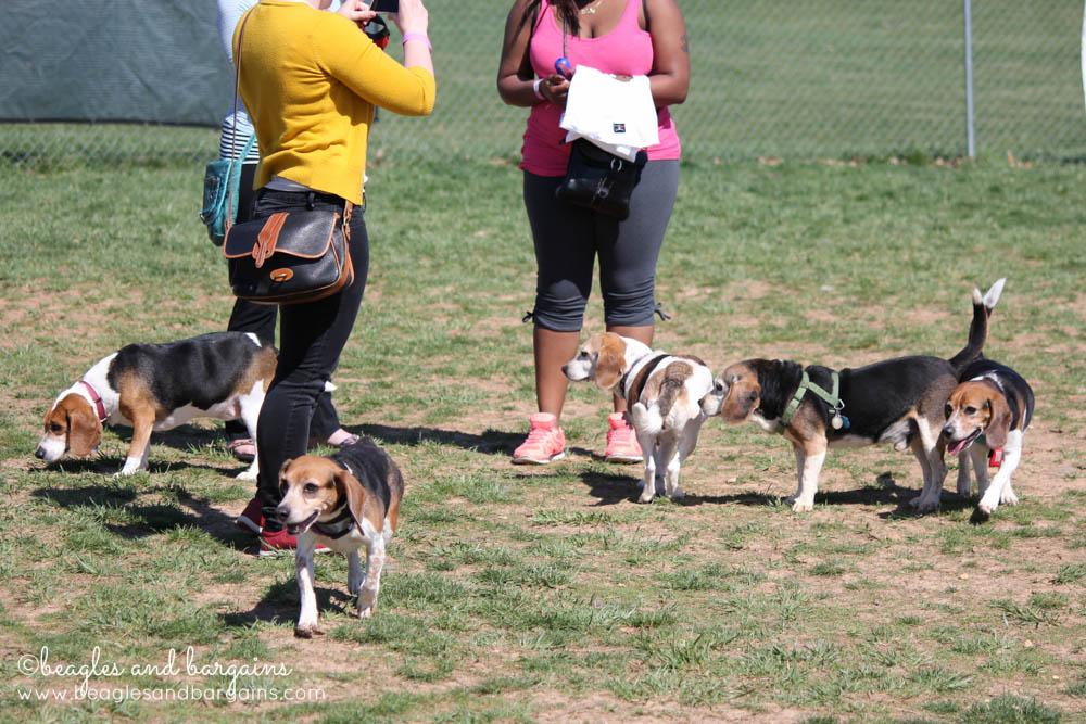 Beagles at BREW's Beaglefest