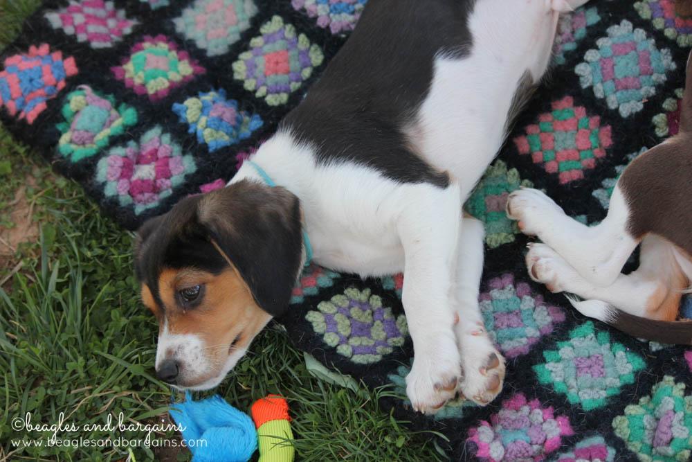 Beagle puppies at BREW's Beaglefest