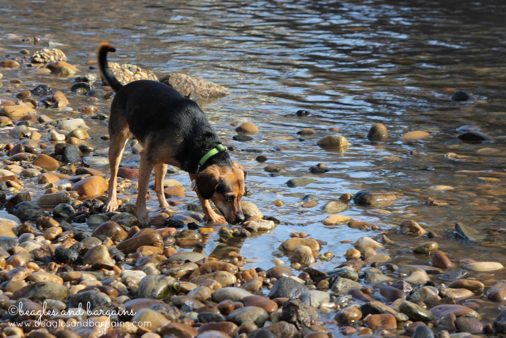 Luna explores Four Mile Run near Shirlington Dog Park