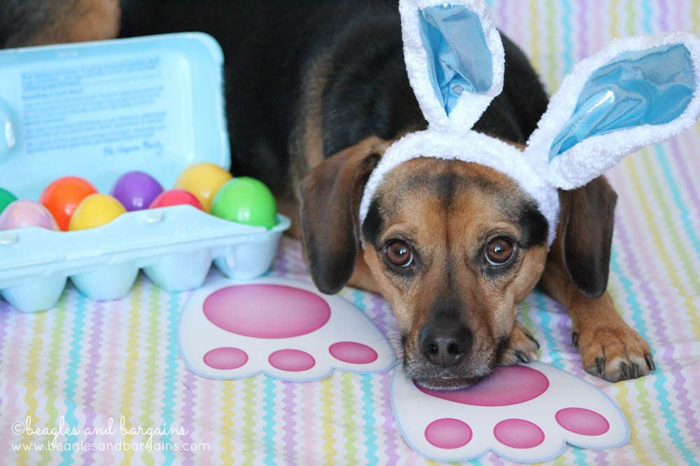 Luna is the Easter Beagle!