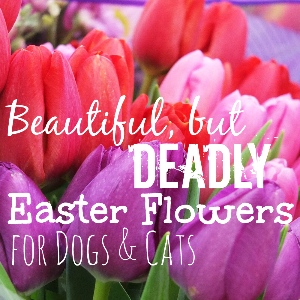Beautiful, but Deadly Easter Flowers for Dogs & Cats