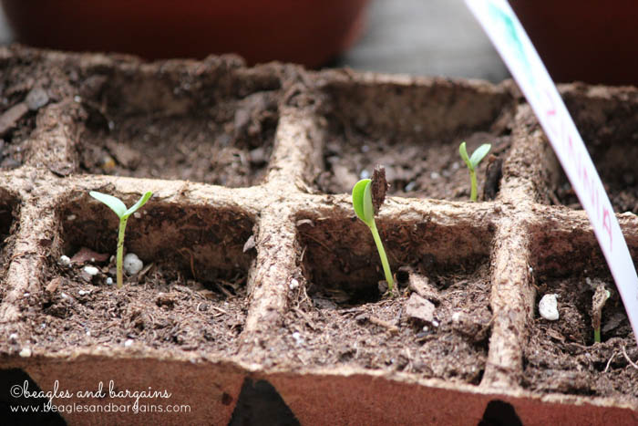 Gardening for beginners - planting seeds.