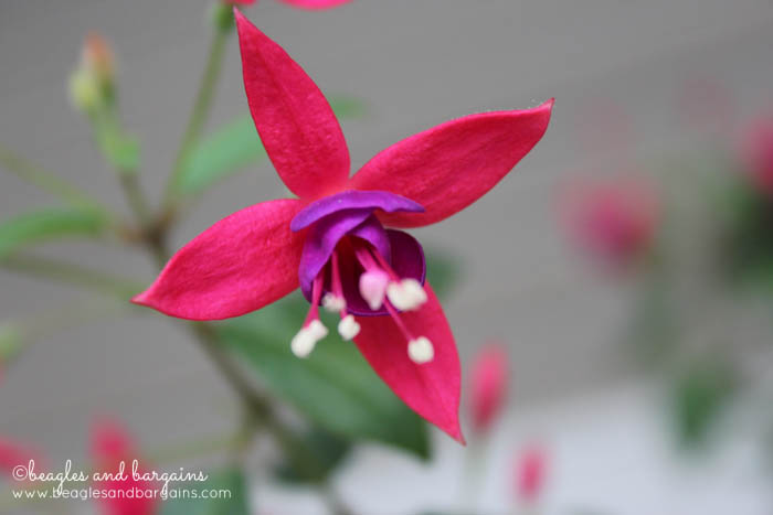 Fuschia is an easy to maintain and a great option for beginner gardeners.