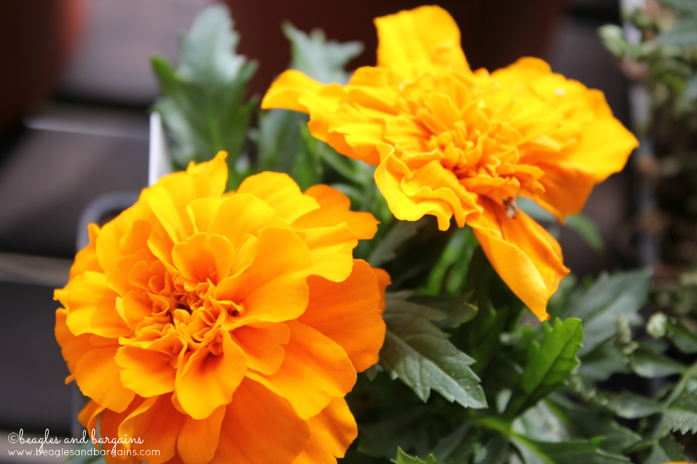 Garden Marigolds are great Pet Safe Options for Fresh, Cut Flowers