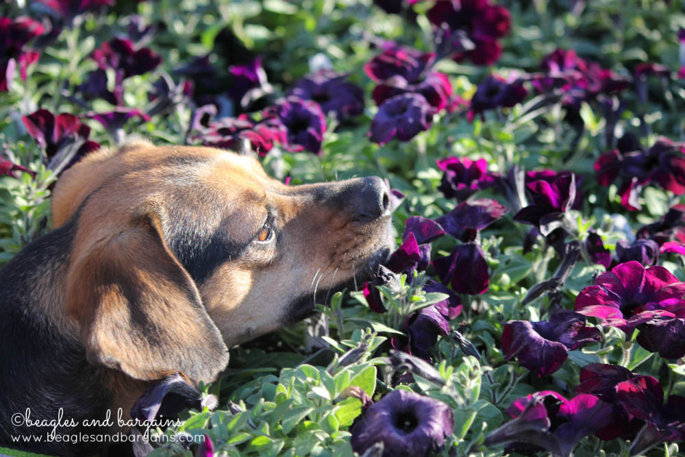 Luna stops to smell the flowers at Merrifield Garden Center