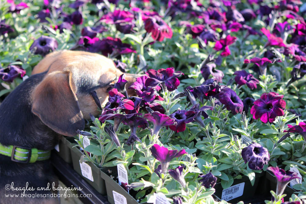 QUIZZICAL - Luna sniffs flowers