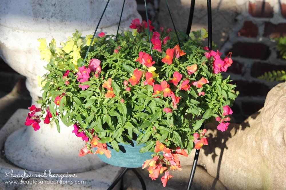 A Snapdragon Hanging Basket At Merrifield Garden Center Beagles And Bargains