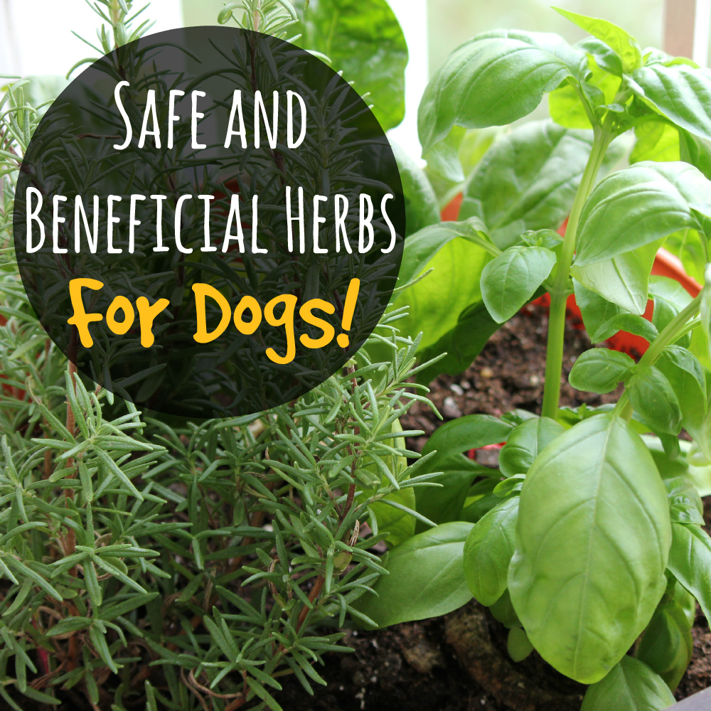Safe and Beneficial Herbs for Dogs!