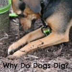 Under the Earth – Why Do Dogs Dig?