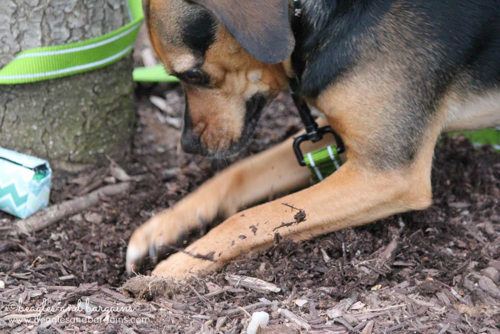 Luna loves to dig!