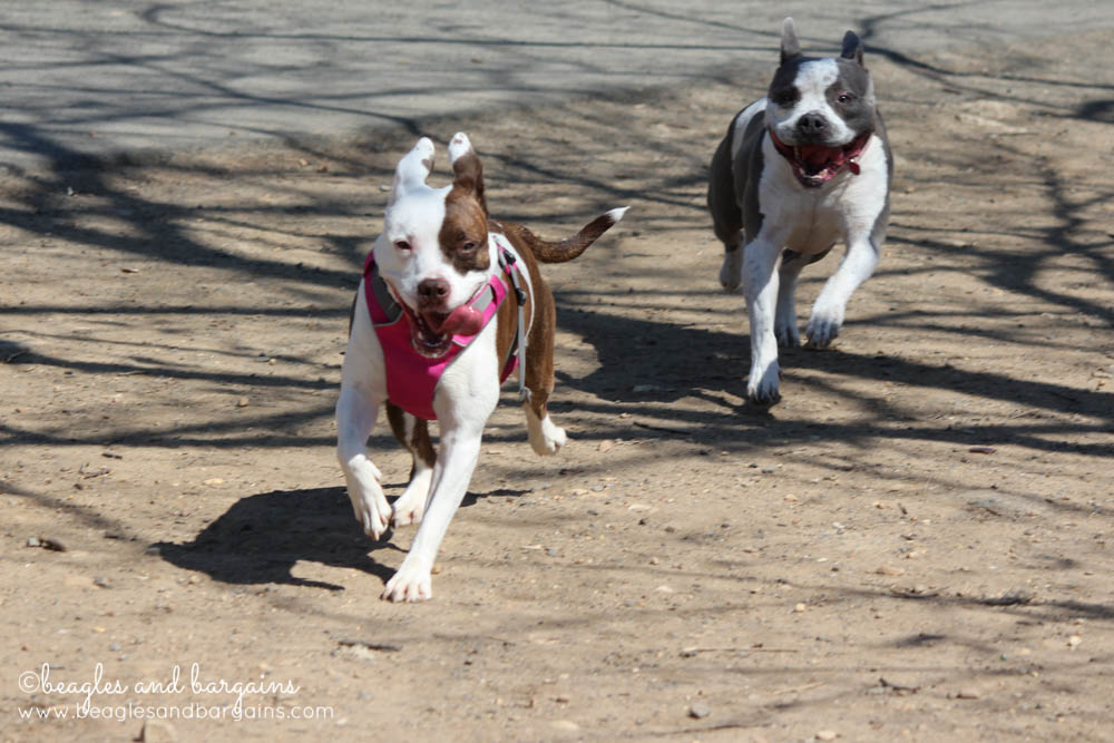 Dogs playing together at Shirlington Dog Park