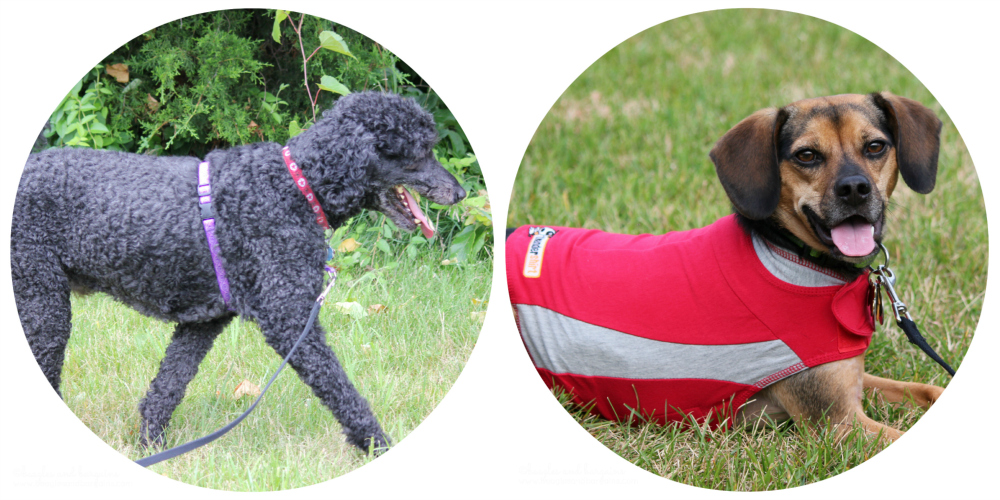 Don't forget to enter our current giveaways - Lupine No Pull Harness, Thundershirt