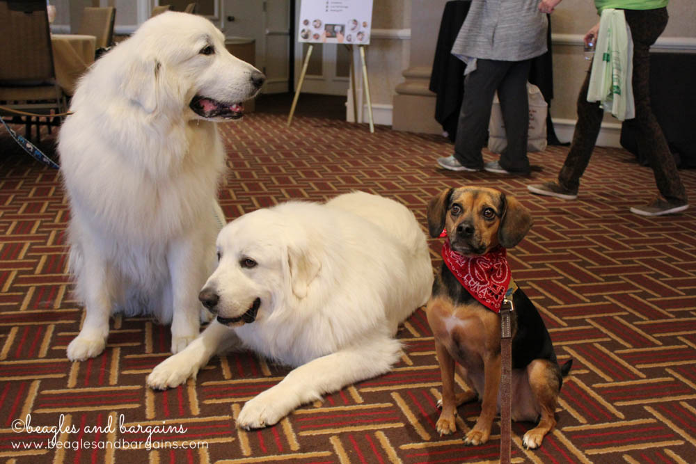 Luna met the beautiful Great Pyrenees pair (Mauja and Atka) from It's Dog or Nothing.