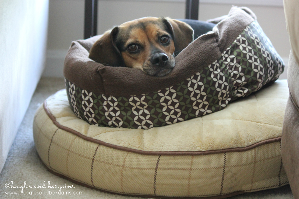 Luna demonstrates Rule #1 of 5 Easy Ways to Tell If Your Dog Has a Comfort Addiction