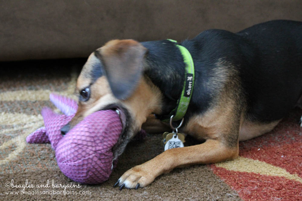 52 Snapshots of Life - PLAY - Luna gets a new dog toy.