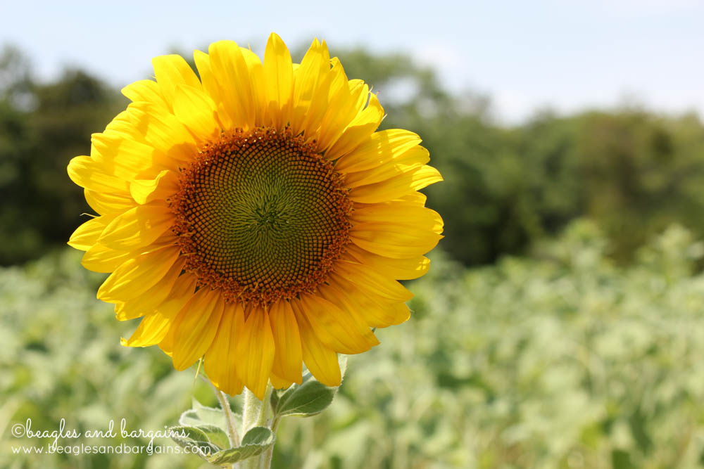 8 Photos of Happiness - Sunflowers (and Gardening)