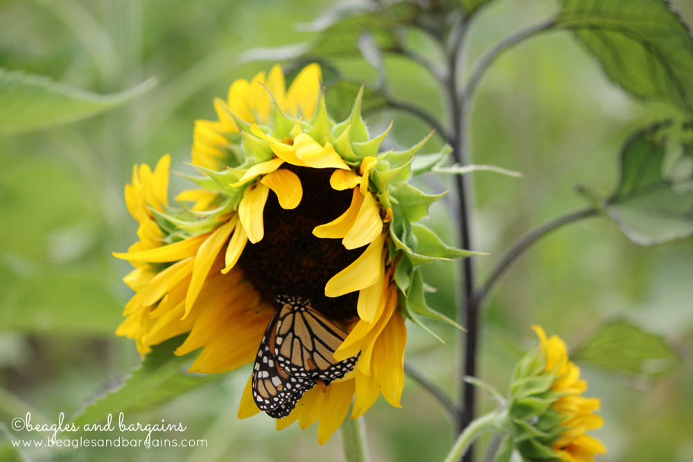 A Butterfly lands on a Sunflower