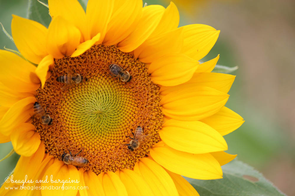 Bees pollinate a Sunflower at Burnside Farms
