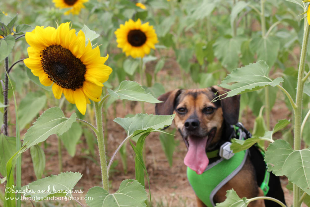 Luna spends the day at a Sunflower Farm