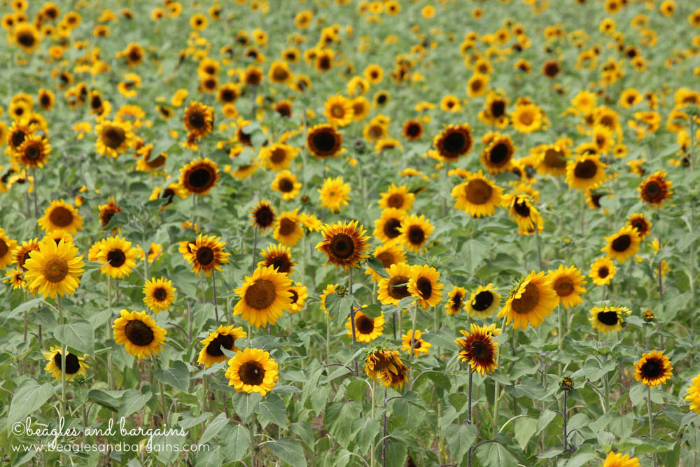 The Sunflowers Field at Burnside Farms in Virginia