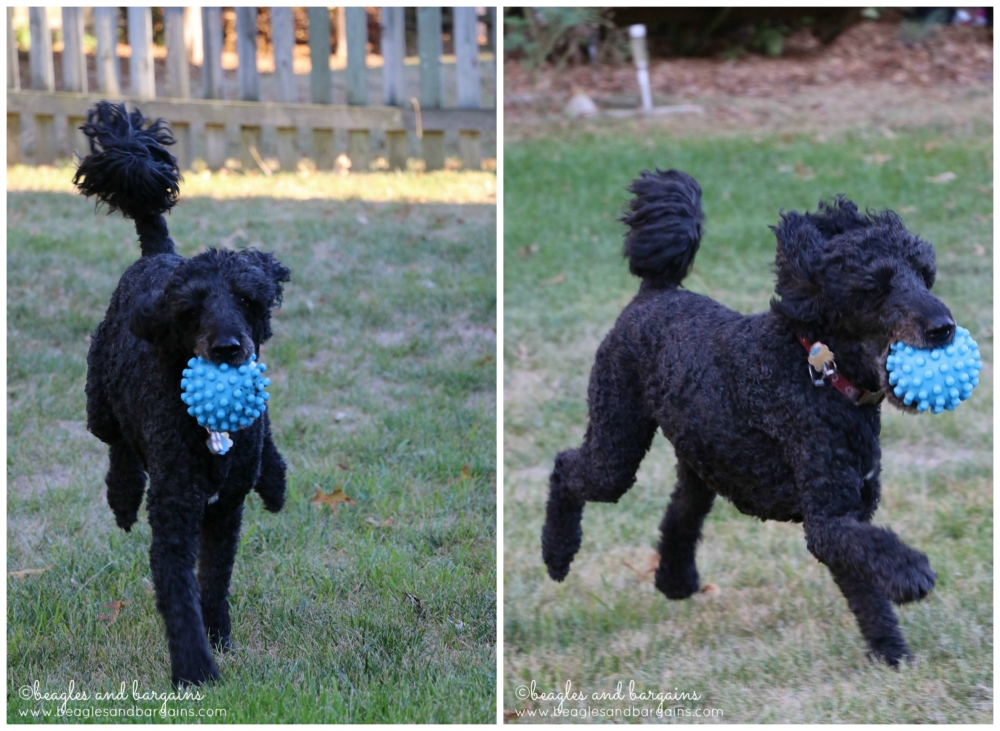 Senior dog Keto takes the Glyco Flex Challenge!