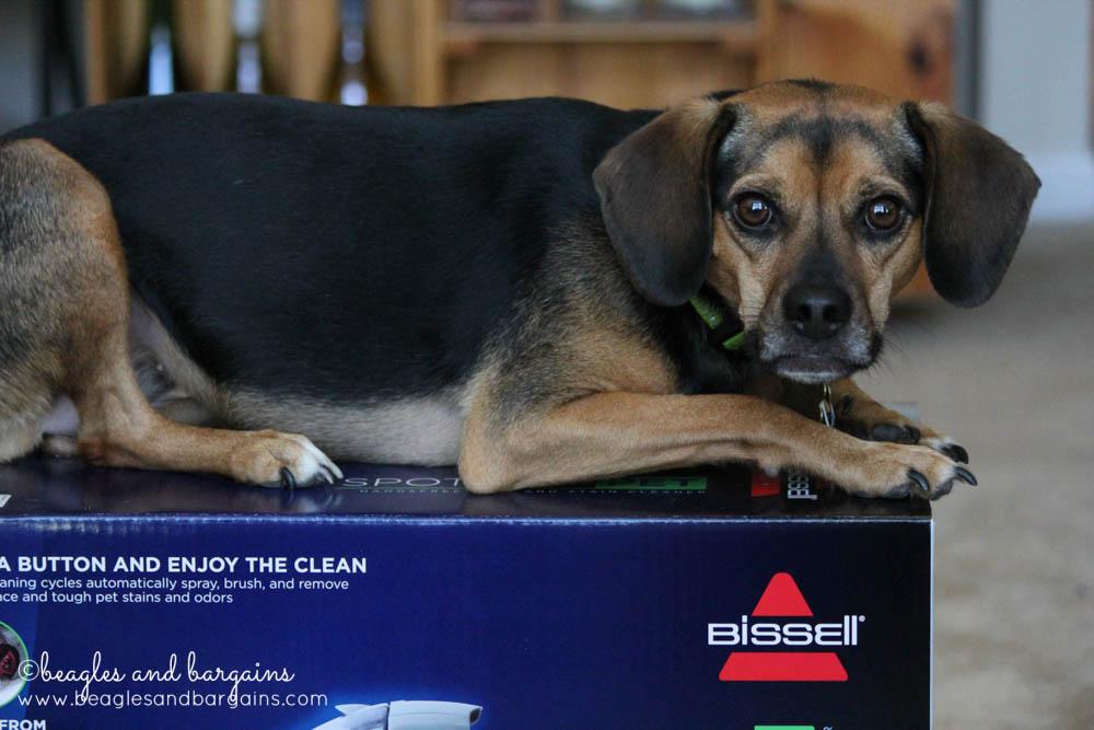 Luna investigates the BISSELL SpotBot Pet box