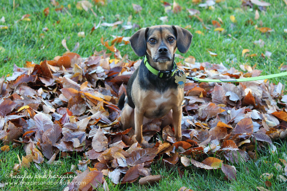 Luna sits in a pile fallen leaves