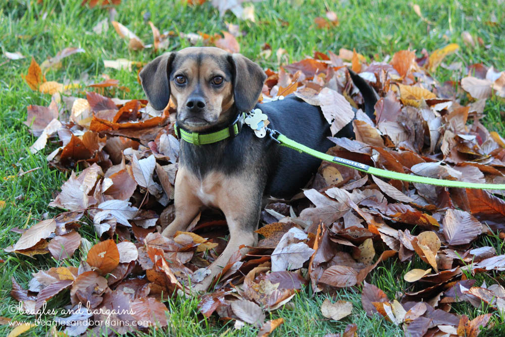 Luna enjoys the fallen leaves