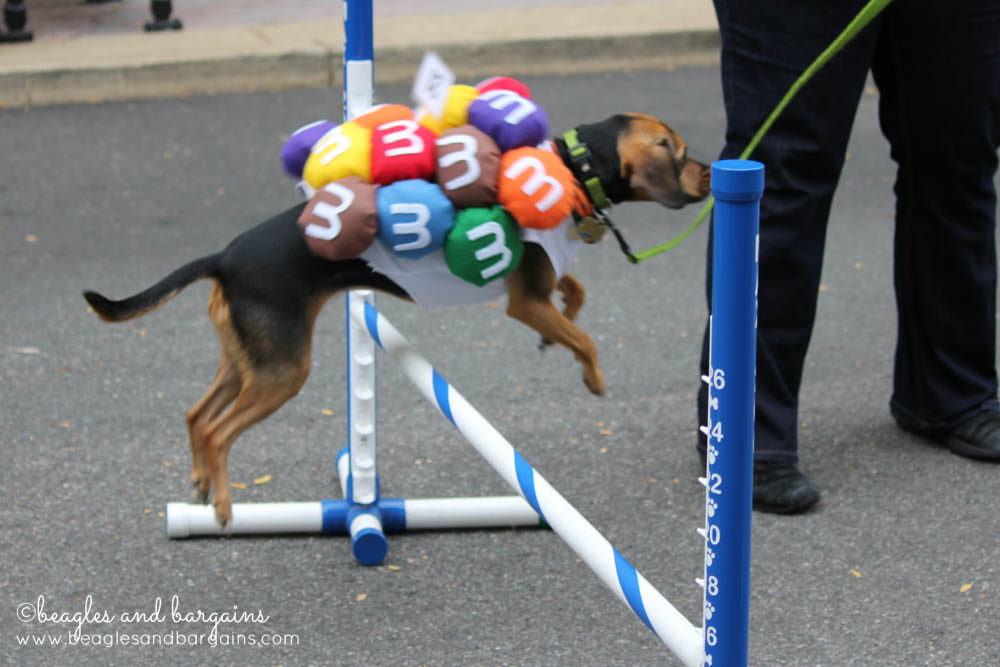 Mini M&Ms can do agility too!
