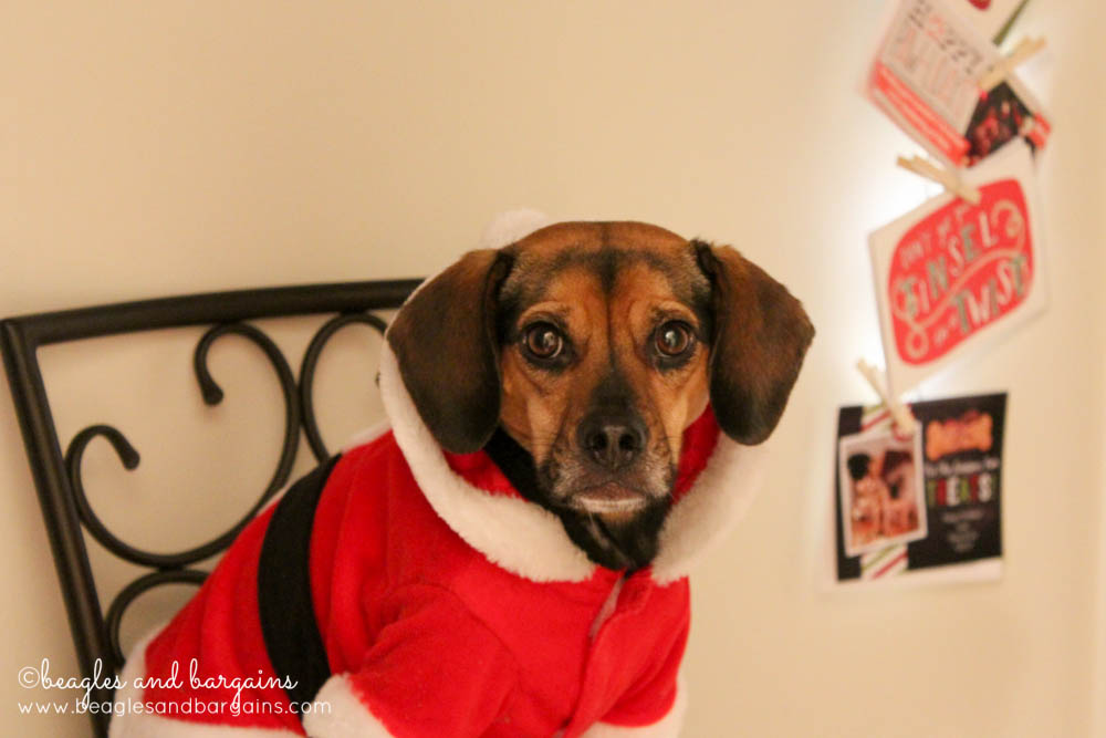 Luna is excited to read all our Christmas cards this year. - Beagles ...