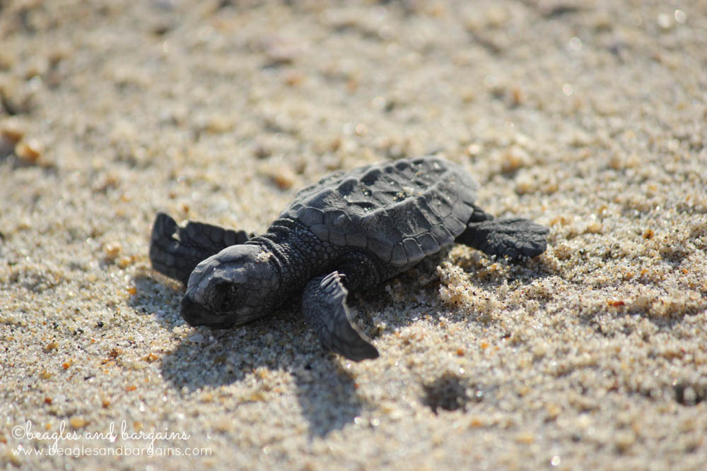Baby sea turtles in Puerto Escondido