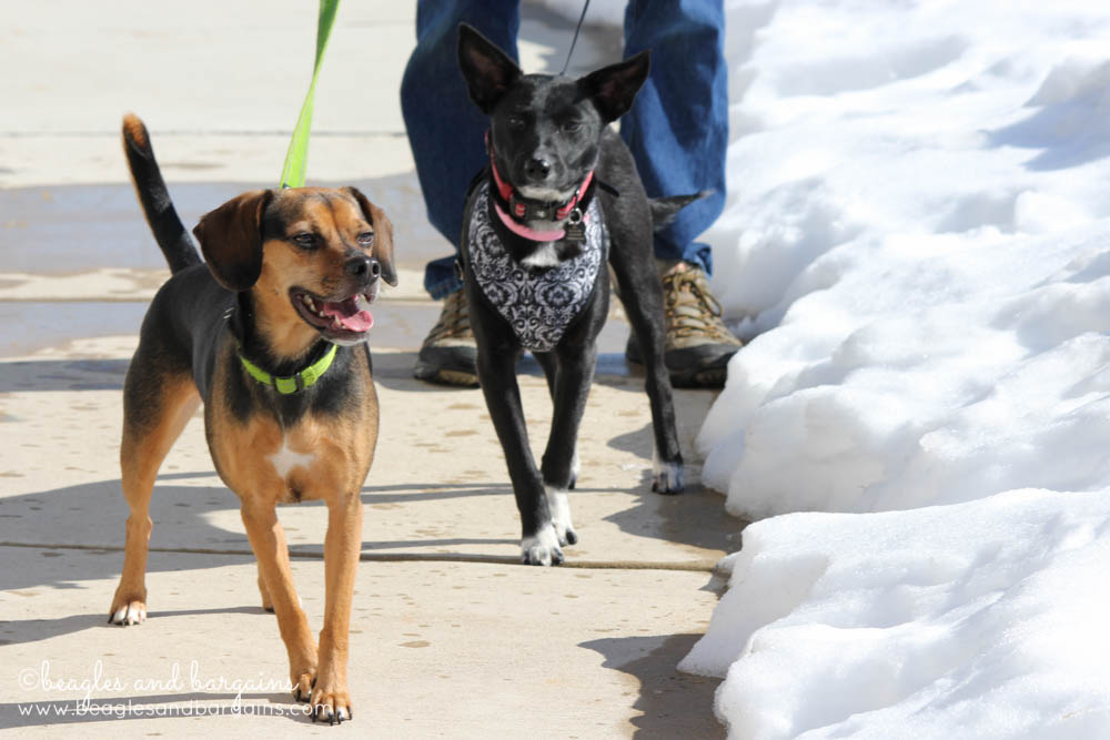 Luna and foster dog Ralph on a walk through the melting Virginia snow