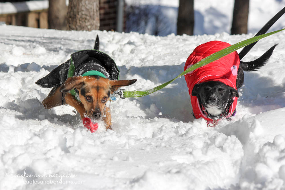 Ralph and Luna run through the snow during Blizzard 2016 - Winter Storm Jonas