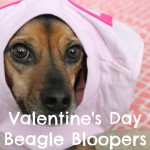 When Valentine's Day Photo Shoots Go Awry and More Beagle Bloopers