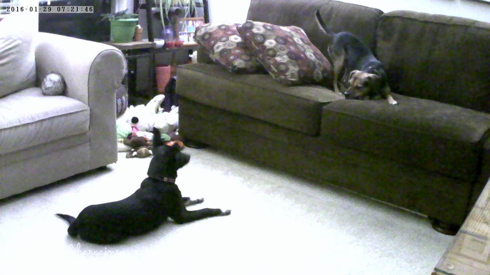 Ralph and Luna play together as I watch with our Vimtag Indoor Camera