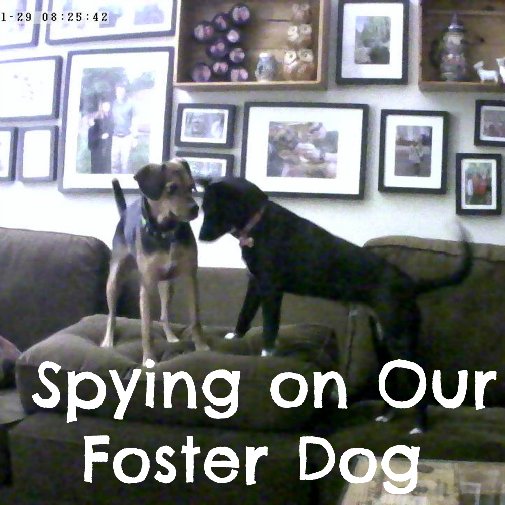 Spying on Our Foster Dog with a Vimtag Indoor Camera