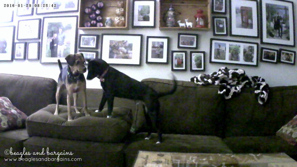 Spying on foster dog Ralph and Luna playing at home