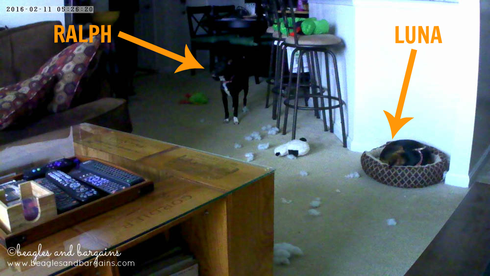 Luna and Ralph distribute toys all over our apartment - Caught with Vimtag Indoor Camera