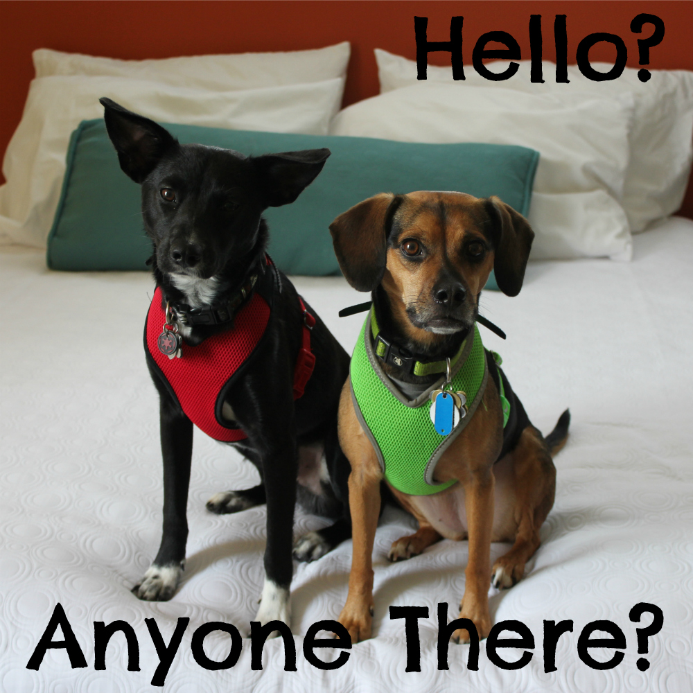 Hello? Anyone there?   Beagles & Bargains is back!