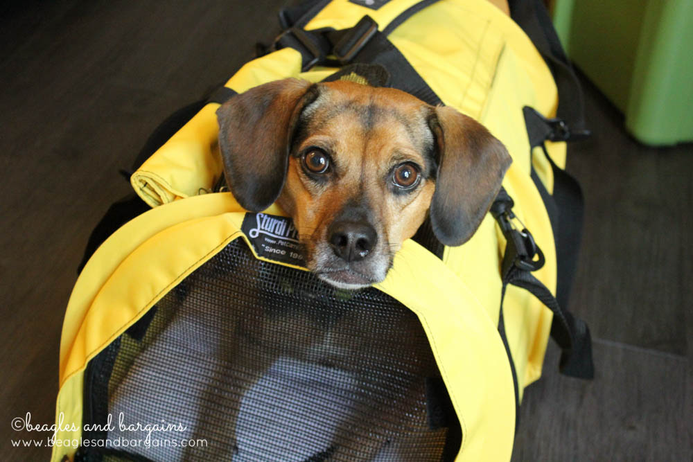 Luna fits into the SturdiBag Large, which is the largest pet carrier allowed in airline cabins.