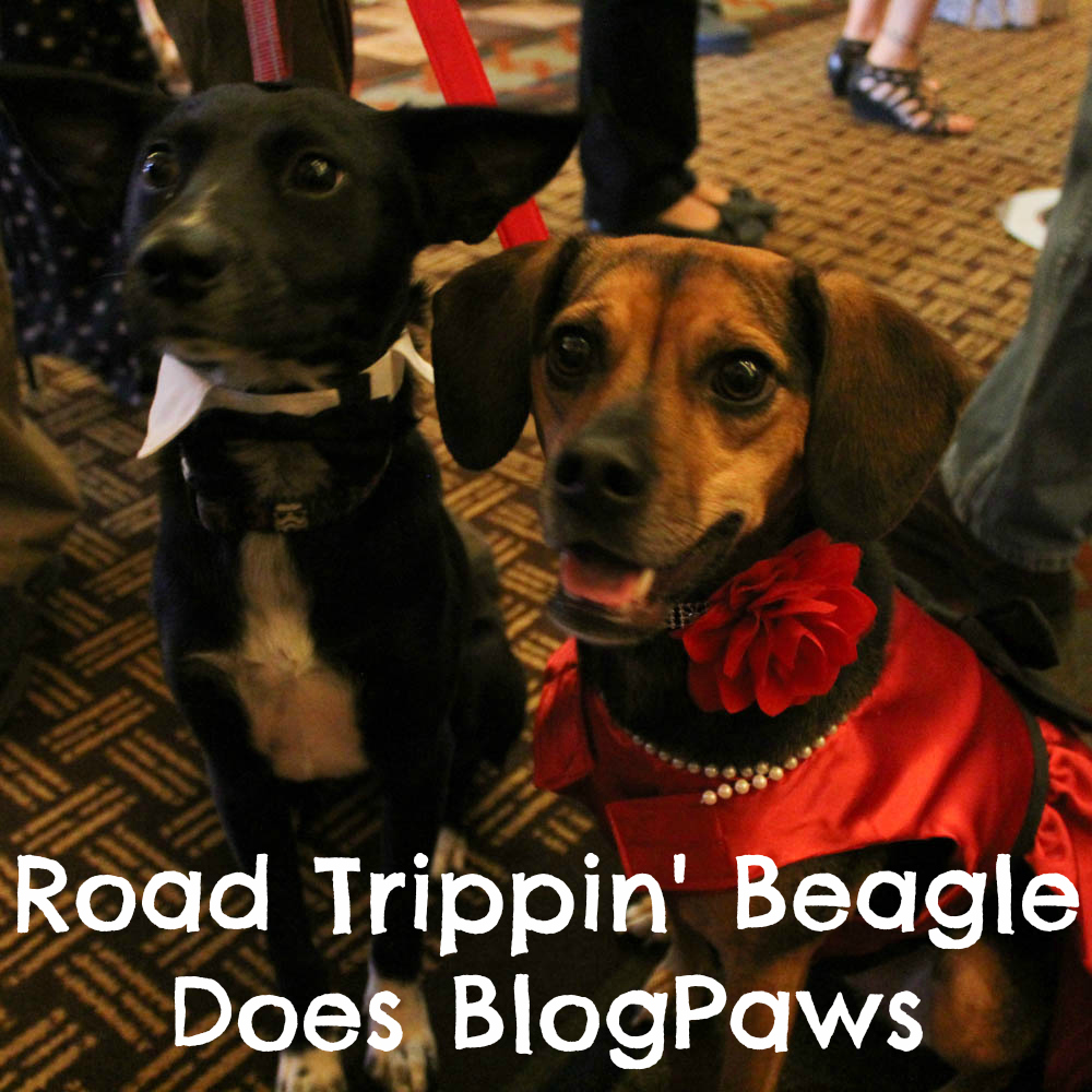 Road Trippin' Beagle Does BlogPaws