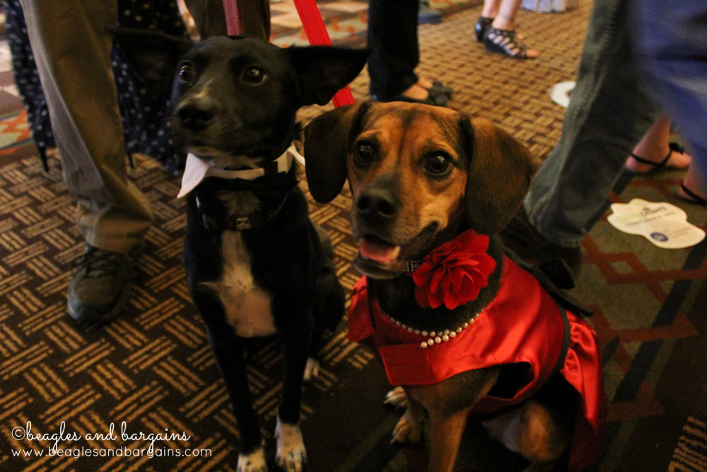 Luna and Ralph get fancy for the Nose-to-Nose Awards at BlogPaws 2016