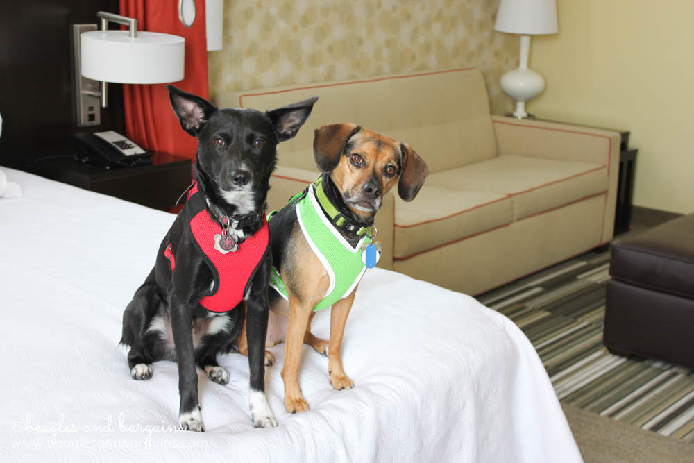 Luna and Ralph enjoy the large pet friendly rooms at Home2 Suites in Southaven.