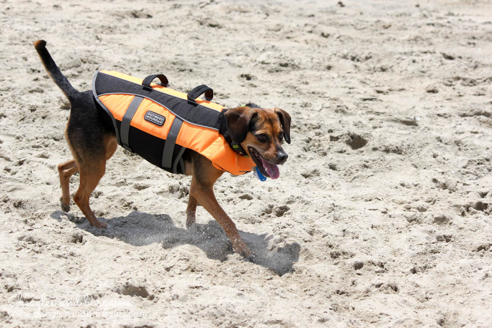 Luna runs on a dog friendly beach in California and touches the Pacific Ocean for the first time.