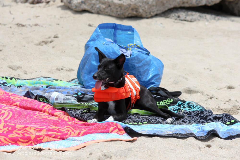 Ralph enjoyed spending time on our beach towels during his first off leash experience