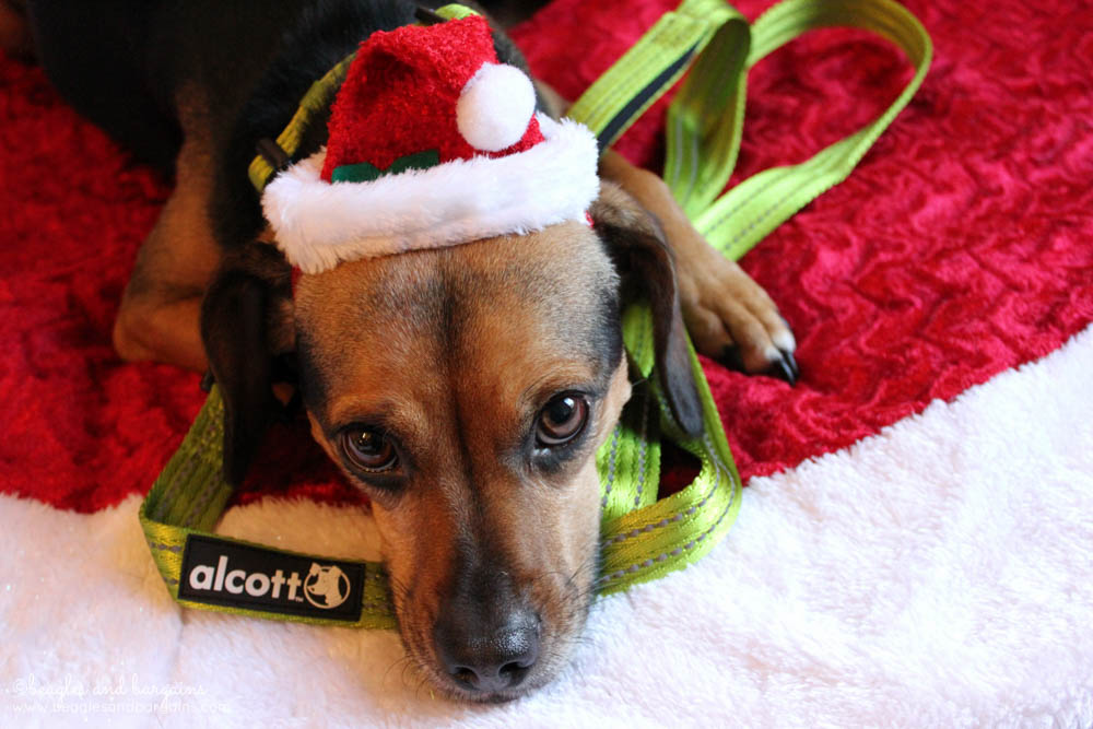 Santa Luna says it's time for a walk with her green Alcott leash.