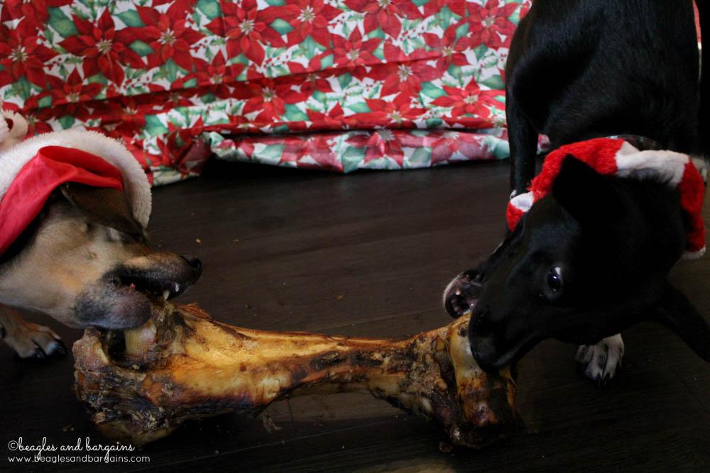 Ralph and Luna enjoy a Dino Bone from the Jones Natural Chews Holiday Box