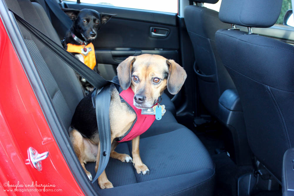 Ralph and Luna get ready for a road trip with their Sleepypod Clickit Sport car safety harnesses