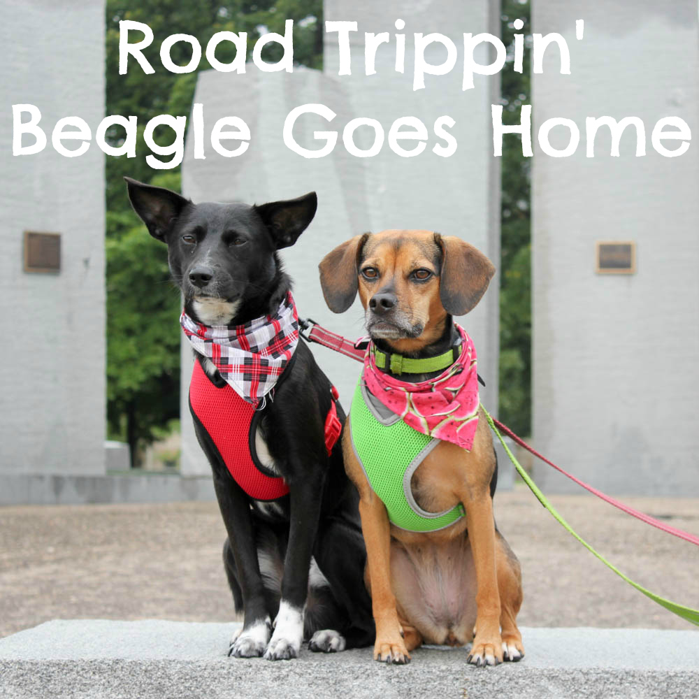 Road Trippin' Beagle Goes Home